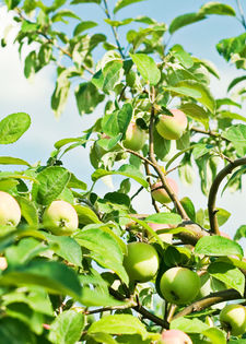 stockvault-apple-tree124637